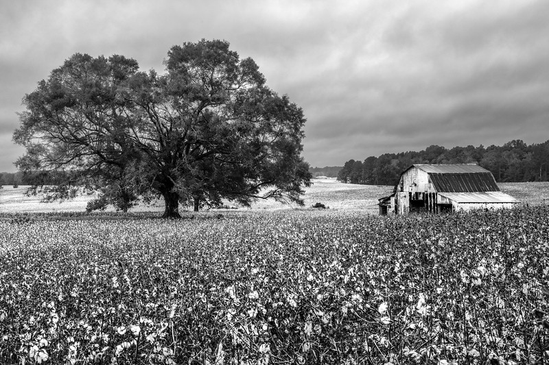 Field Of Cotton in Winston County