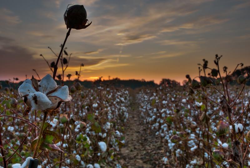 Cotton field at Sunrise