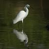 Posing Snowy Egret  11x14 crop