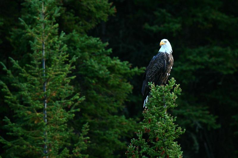 Bald Eagle - Glacier National Park
