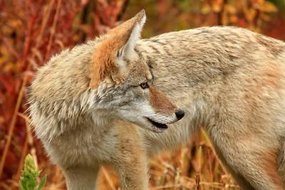 Coyote - Glacier National Park, Montana