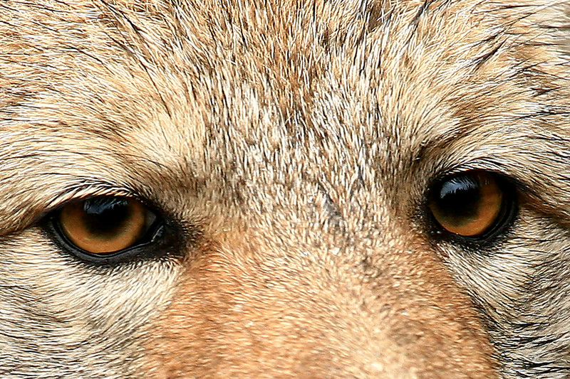 Eyes of a Coyote - Glacier National Park
