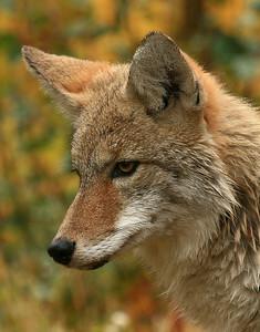 Coyote - Glacier National Park