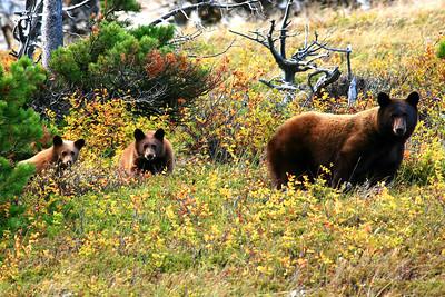 Black Bear and Cubs - Glacier National Park