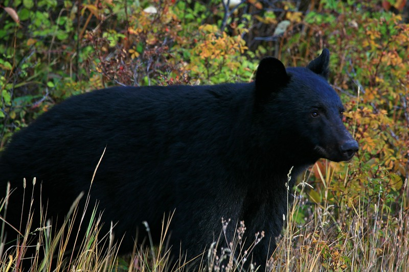 Black Bear - Glacier National Park