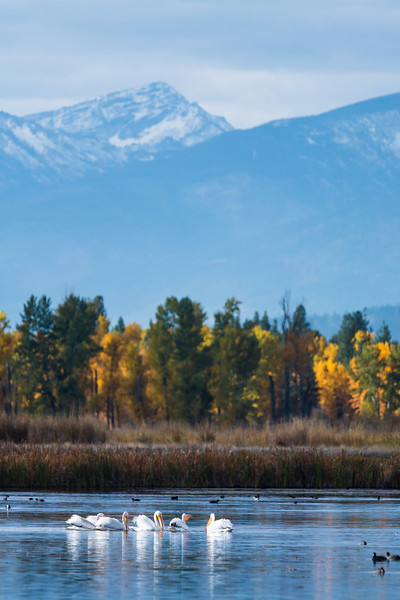 American White Pelicans and Mountains