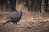 Wild Turkey-2