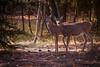 5-Deer Duo