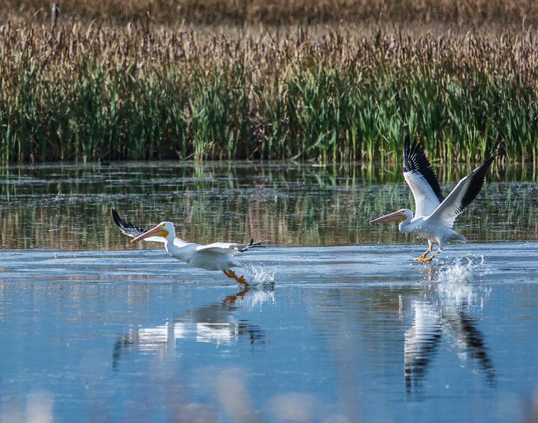 American White Pelican Take Off - 11x14 crop