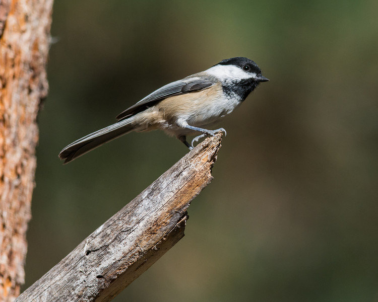 Black-capped Chick-a-dee