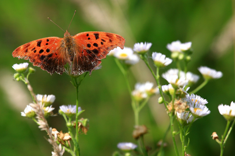 Butterfly in Flowers - Hocking County, OH