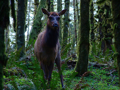Elk near Cannon Beach, Oregon