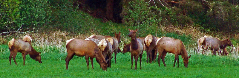 Herd of Elk - Seaside, Oregon