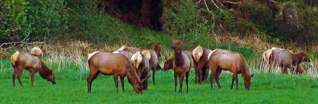 Herd of Elk - Seaside, Oregon