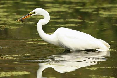 Egret Gone Fishing - Charleston, South Carolina