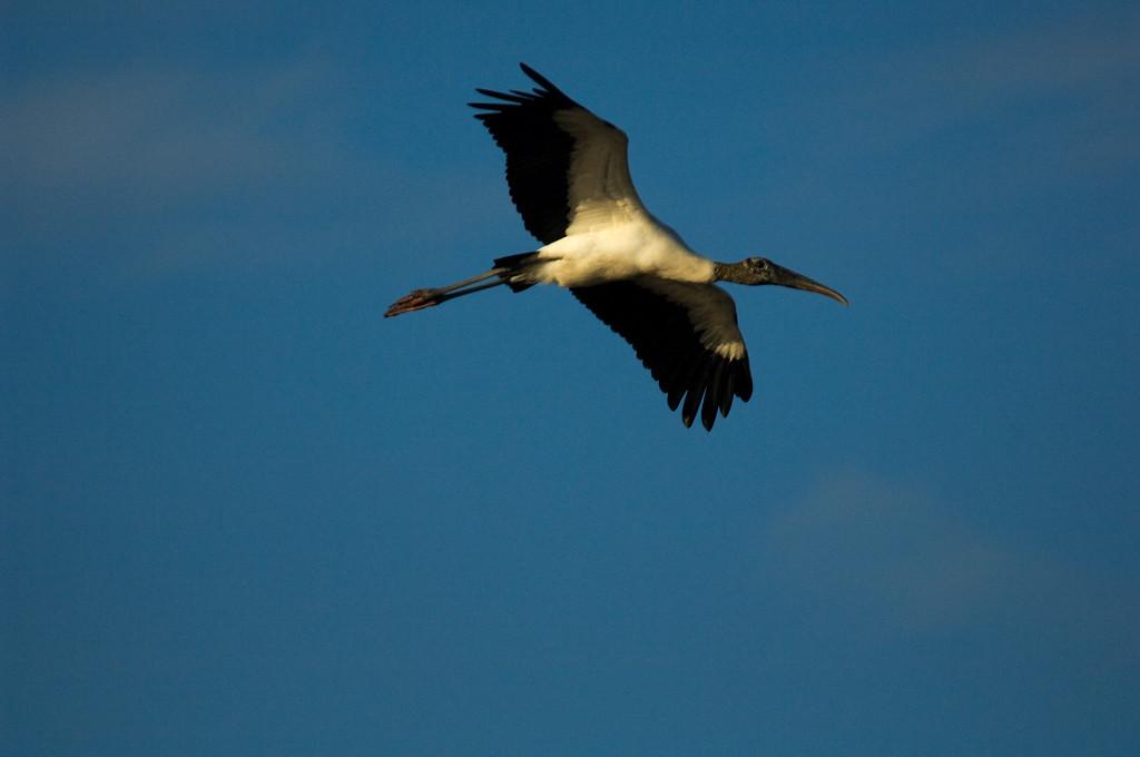 Wood Stork - Hunnington Beach S.P. South Carolina
