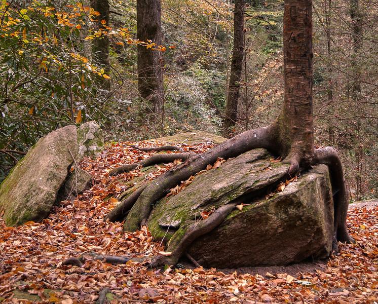 Rock Wrapped In Tree Trunk
