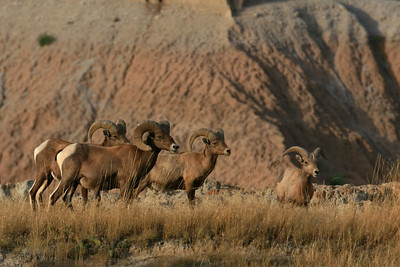 Big Horn Sheep - Badland National Park, SD