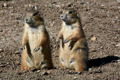 Prairie Dogs - Badland National Park, South Dakota
