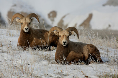 Bighorn Sheep - Badlands National Park, SD