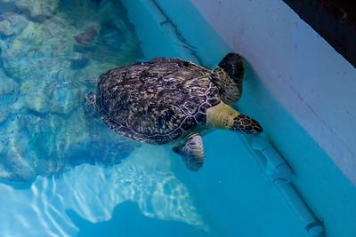 Rob Kemp's Ridley Turtle