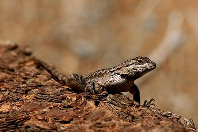 Western Fence Lizard - Utah
