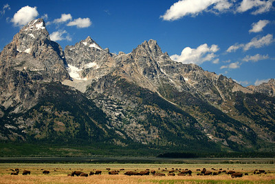 Buffalo Herd - Grand Teton National Park, WY