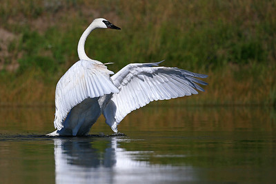 Trumpeter Swan - Yellowstone National Park, MT