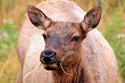 Elk - Yellowstone National Park