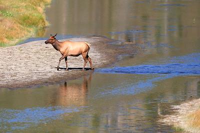 Elk - Yellowstone National Park, Wyoming