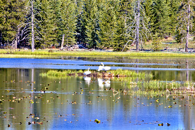 Trumpeter Swans - West Yellowstone