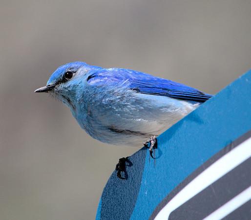 Blue Bird on a Blue Sign