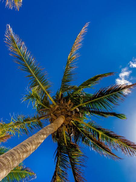 Caribbean Palm Tree