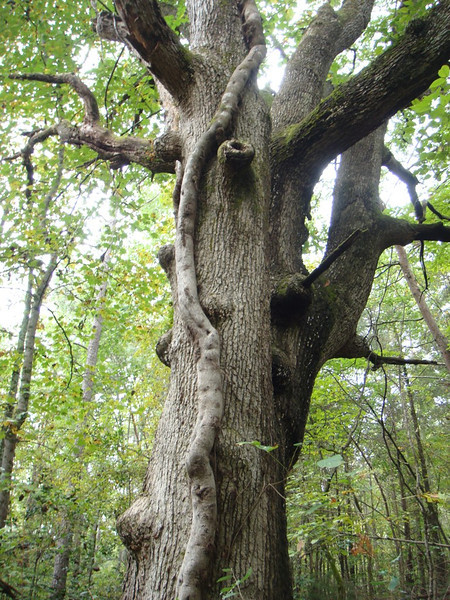 Old field tree in the forest, with monster poison ivy vine<br /> (Photo by Kathy Fell)
