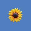Sunflower, 8'  #6093
