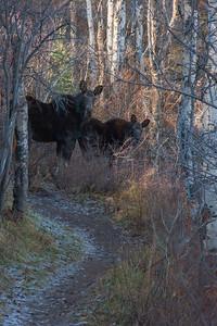 Park City Trail Moose