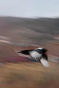 Magpie streaking