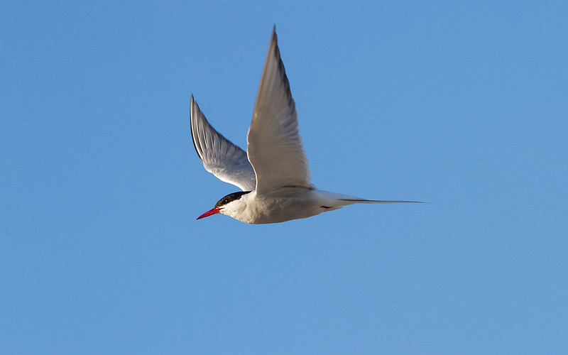 Rødnebbterne / Arctic Tern<br /> Agger tange, Danmark 14.7.2014<br /> Canon EOS 7D + Tamron 150 - 600 mm 5,0 - 6,3