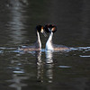 Toppdykker / Great Crested Grebe<br /> Damtjern, Lier 3.5.2020<br /> Canon  5D Mark IV + EF 500mm f/4L IS II USM + 1.4x Ext