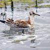 Hettemåke / Black-headed Gull<br /> Getterön, Sverige 20.7.2013<br /> Canon EOS 7D + EF 100-400 mm 4,5-5,6 L