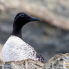 Lomvi / Common Murre<br /> Hornøya, Vardø 10.7.2013<br /> Canon EOS 5D Mark II + EF 100-400 mm 4,5-5.6 L
