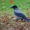 Kråke / Hooded Crow <br /> Jensvoll, Lier 16.11.2013<br /> Canon EOS 5D Mark II + EF 100-400 mm 4,5-5,6