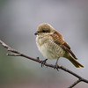 Tornskate / Red-backed Shrike<br /> Jensvoll, Lier 30.8.2014<br /> Canon EOS 7D + Tamron 150 - 600 mm 5,0 - 6,3