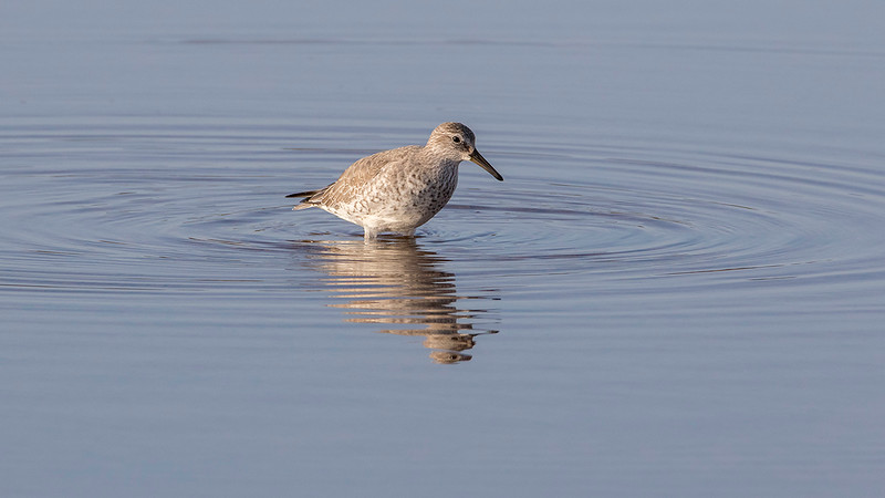 Polarsnipe / Red Knot<br /> Gran Canaria, Spania 28.12.2014<br /> Canon 7D Mark II + Tamron 150 - 600 mm 5,0 - 6,3 @ 552 mm