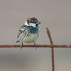 Middelhavsspurv / Spanish Sparrow<br /> Fuerteventura, Kanariøyene 27.12.2012<br /> Canon EOS 7D + EF 100-400 mm 4,5-5,6 L