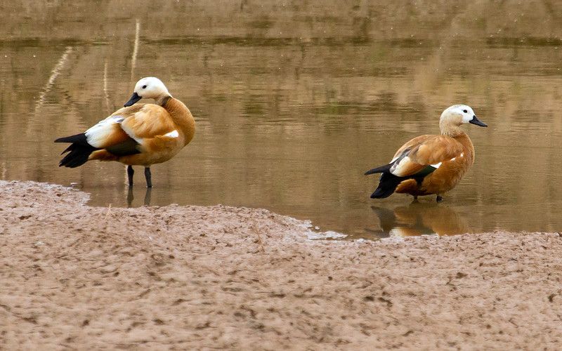 Rustand / Ruddy Duck<br /> Fuerteventura, Kanariøyene 31.12.2012<br /> Canon EOS 7D + EF 100-400 mm 4,5-5,6 L