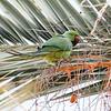 Halsbåndparakitt/ Rose-ringed Parakeet<br /> Gran Canaria, Spania 31.12.2014<br /> Canon 7D Mark II + Tamron 150 - 600 mm