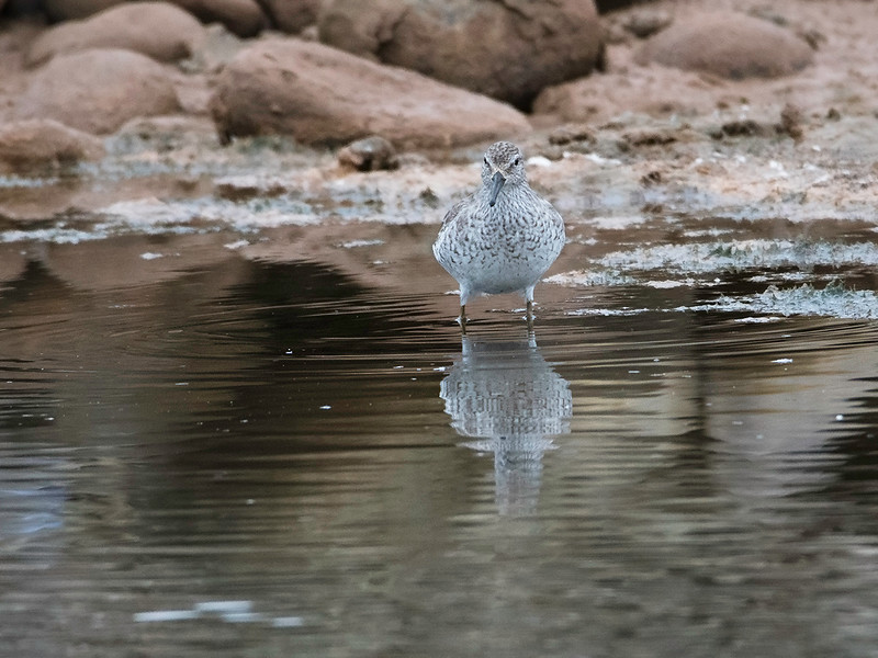 Polarsnipe / Red Knot<br /> Gran Canaria, Spania 30.12.2014<br /> Canon 7D Mark II + Tamron 150 - 600 mm 5,0 - 6,3