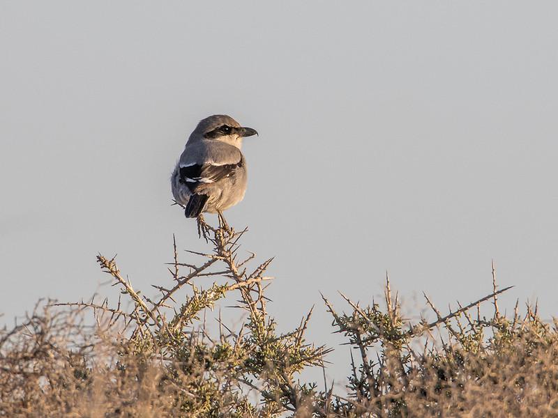 Varsler / Great Grey Shrike<br /> Gran Canaria, Spania 28.12.2014<br /> Canon EOS 7D Mark II + Tamron 150 - 600 mm 5,0 - 6,3