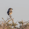 Varsler / Great Grey Shrike<br /> Gran Canaria, Spania 28.12.2014<br /> Canon EOS 7D Mark II + Tamron 150 - 600 mm 5,0 - 6,3
